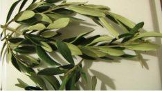 Tüm Hastalıkların Dermanı Zeytin Yaprağı Çayı