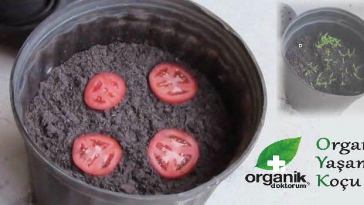 Saksıda Organik Domates Yetiştirmenin Püf Noktaları