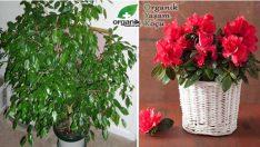 Evimizin Ortasındaki Tehlike 8 Zehirli Bitki
