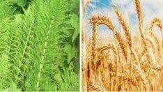Ms Hastalığına Şifa Kırkkilit Otu ve Buğday Kürü