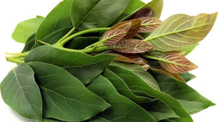 Avokado Yaprağı Çayı ve Faydaları