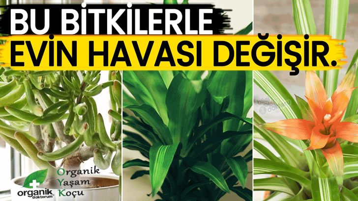 Evde ki Küfü Önleyen ve Toksinleri Temizleyen Bitkiler