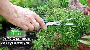 Koklandığında Zekayı Yüzde 75 Oranında Geliştiren Bitki