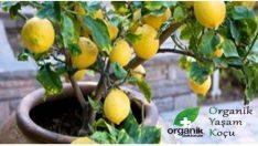Limon Ağacını Sadece 4 Adımda Yetiştirmek Mümkün!