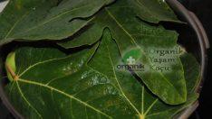 Diyabet İçin İncir Yaprağının Faydaları