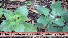 Kendi kendine yetişen Kanı Temizleyen, Hemoglobin Seviyesini Geliştiren Şifalı Bitki